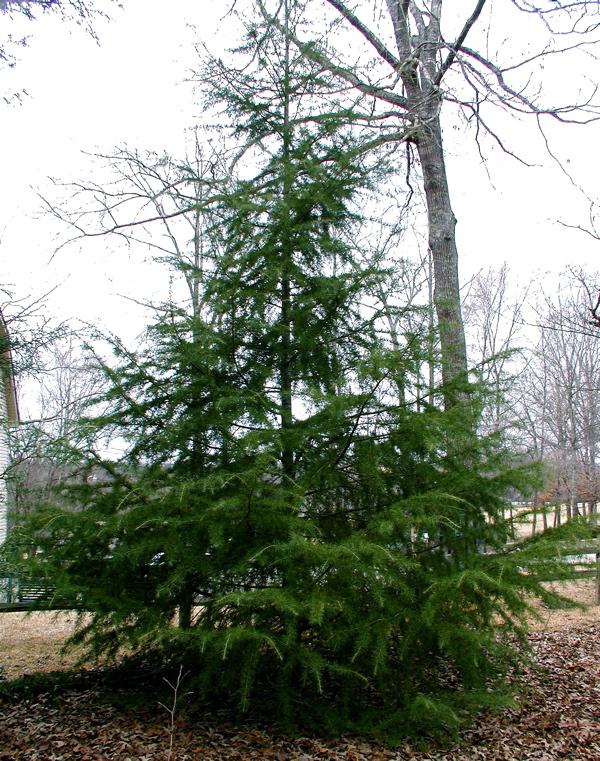 Cedar Tree Varieties ~ Deb s garden