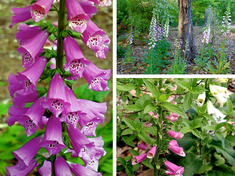Foxgloves are for you maybe debs garden debs garden blog foxgloves are for you maybe mightylinksfo