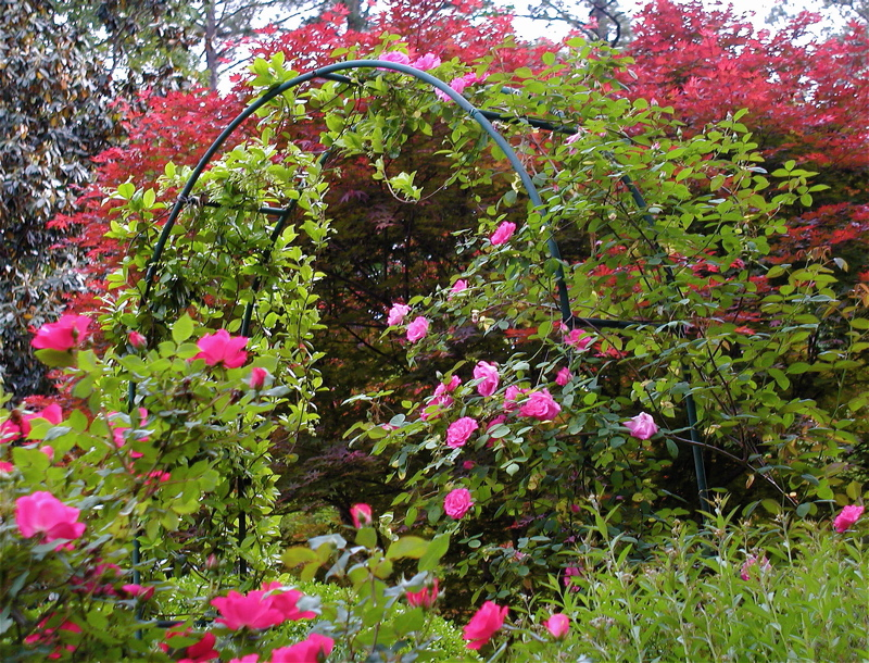 Knockout Roses Grow In The Foreground And Zephirine Drouhin On The Rose  Arch In This View Near The Patio. The Tree In The Background Is Japanese  Maple.