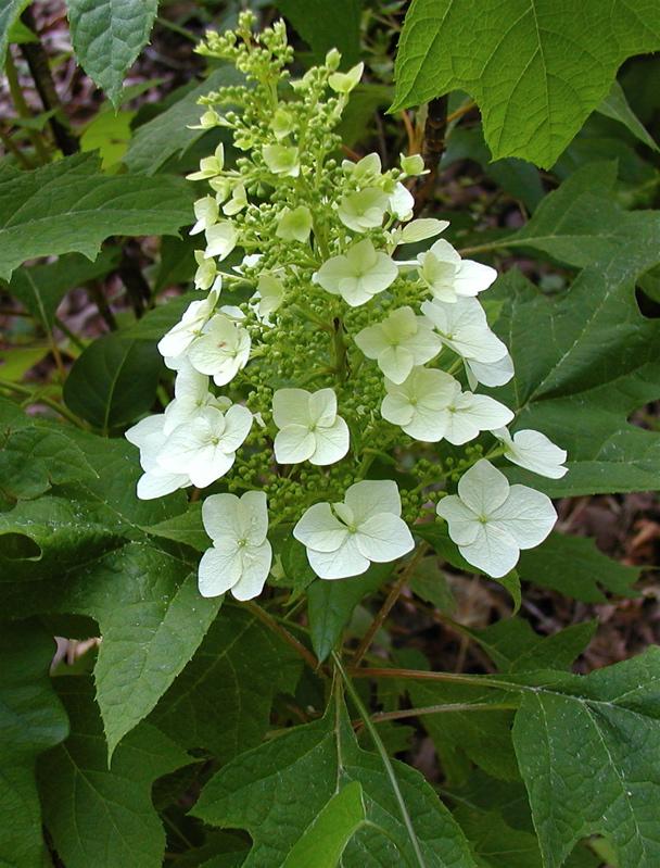 Image result for images of oakleaf hydrangea