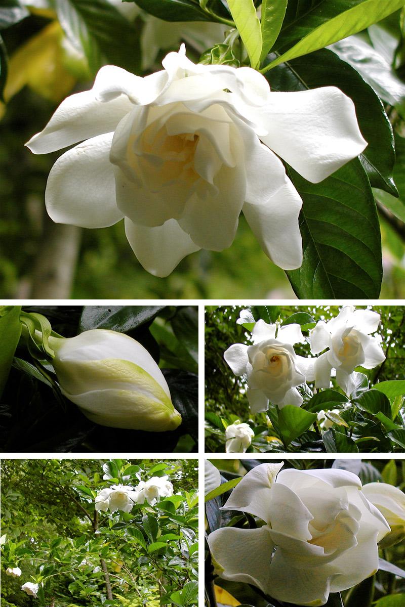 A Gardenia For Me Deb S Garden Deb S Garden Blog