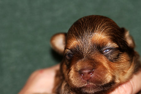 12 Days Old 2 Pups Eyes Open Talemaker Puppies Roxie
