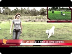 Florida dog Board and Train training program - FINE-TUNED CANINES: Brodie, the Golden Retriever male dog