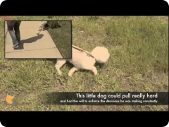 Florida dog Board and Train training program - Un-leashing Oriole's potential - Bichon Frise male dog