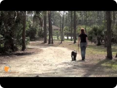 FINE-TUNED CANINES Naples, Florida dog training and dog psychology - Max the Standard Schnauzer at Board and Train dog training camp