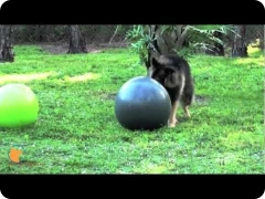 Dog ball herding - treibball, at FINE-TUNED CANINES dog training and dog psychology center in Naples, FL