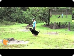Florida off-leash dog training boarding camp - Roxy the Rottweiler/German Shepherd mix dog, at FINE-TUNED CANINES dog training and dog psychology center in Naples, FL
