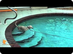 Swimming training and confidence building in the water - FINE-TUNED CANINES, Naples, FL dog training