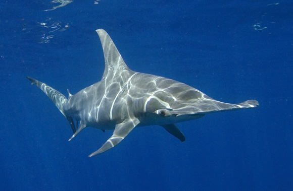 - Great Hammerhead Shark