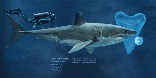 Sizing Up Sharks infographic Great White