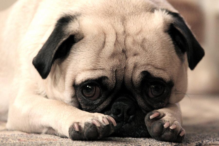Puppy_Dog_Eyes_by_Drocan.jpeg?token=Egx%