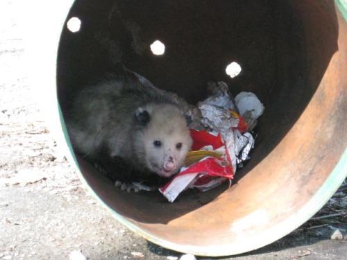 natureandspirit - NatureandSpirit_journalposts - Canned 'Possum