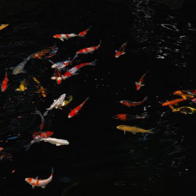 A thriving koi pond