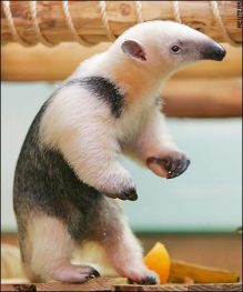 Anteaters Entertaining Animals
