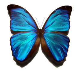 blue_morpho_butterfly_large.jpg