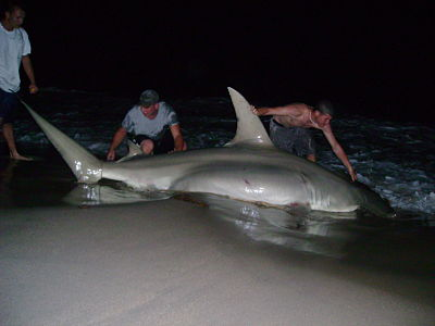 Biggest hammerhead shark ever recorded for Big fish tackle