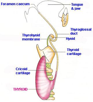 Overview Endocrinesurgery Net Au