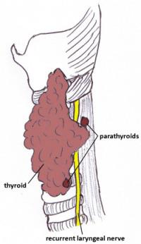 Parathyroid Anatomy Endocrinesurgery Net Au