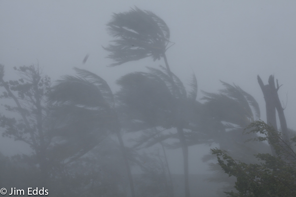 Palm trees bending in hurricane Irene winds Hope Town.