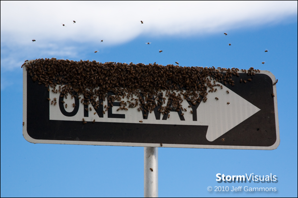 Wild bee swarm on one-way road sign.