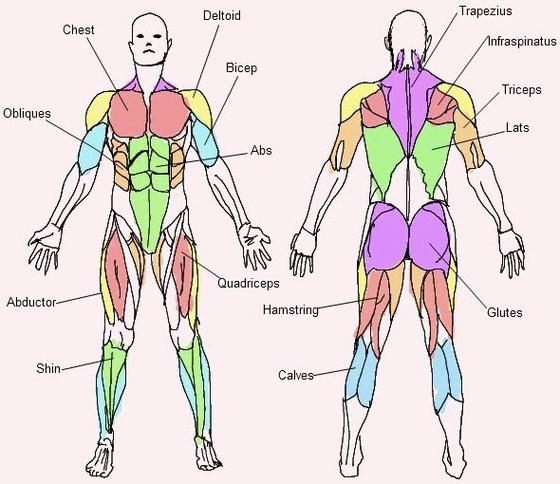 How Muscles Work - Back to the Basics - Posts - Get Fit Over 40