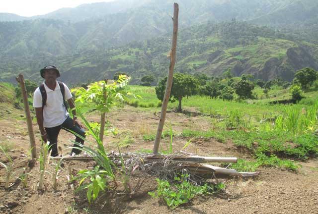 L'agronome Ludson Lafontant observe un des seuils récemment construits, ceci avec une plantule de manguier, d'herbe et des arachides, lors d'une visite à Doucet en août 2013 - Photo : AKJ/Milo Milfort