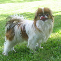 Sable Japanese chin dog