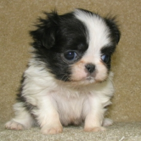 Japanese Chin Puppies on Blog On Japanese Chin Dogs   Japanese Chin Puppies