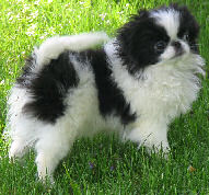 Black and white Japanese Chin Puppy