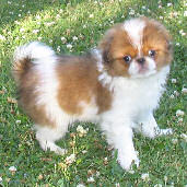 Sable Japanese chin puppy