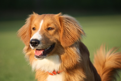 How To Groom Your Toller - Exceptional Family Raised Companions