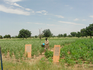 A sesame demonstration plot in Gayeri.