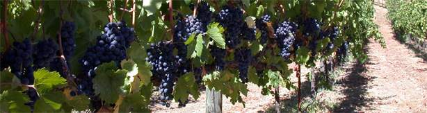 row of grapes.jpg