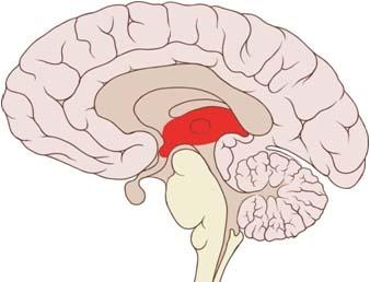 drzukiwski.com - Brain Function Adhd And Limbic System