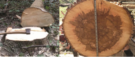 Indiana Woodland Steward Effect Of Eab On Ash Wood