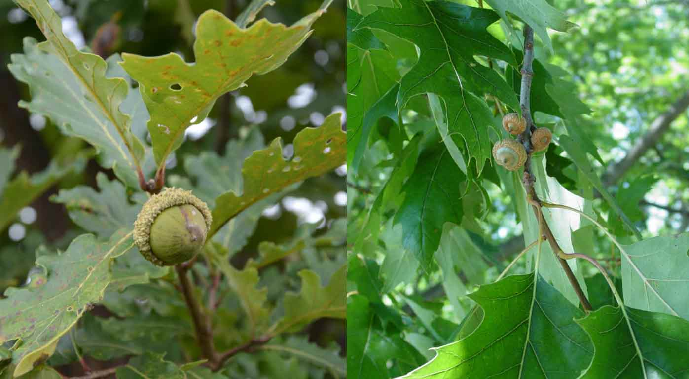 Indiana Woodland Steward Scout Oak Trees To Identify The