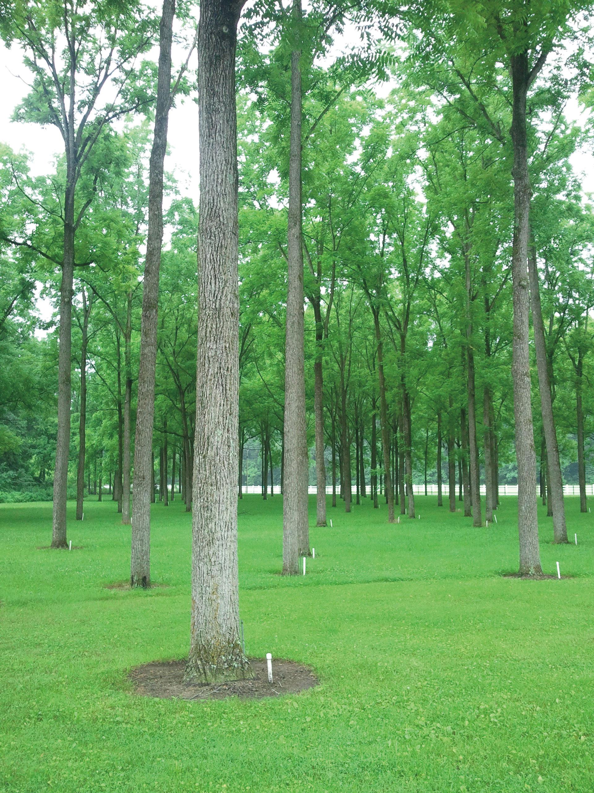 Indiana Woodland Steward - Utilization of American Black