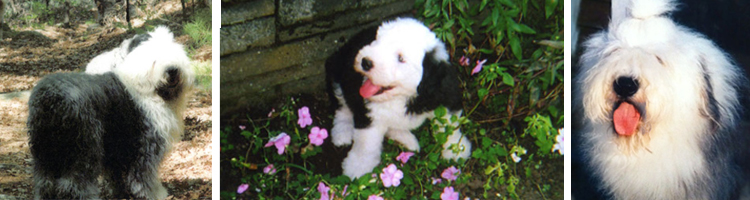 Cranberry Hill Kennels | Old English Sheepdogs - About
