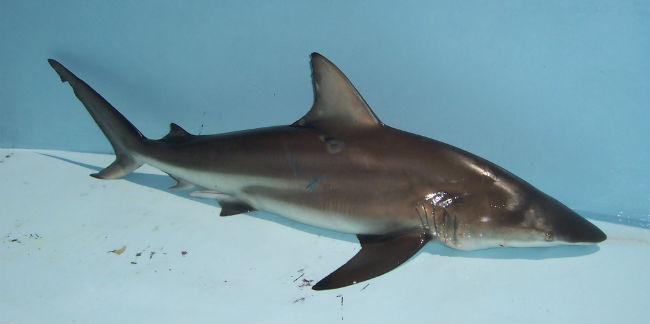 shark fishing_blacktip_2.jpg