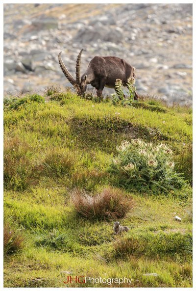 Barrage Grande Dixence Lac des Dix Suisse Switzerland Chamois Stoat Hermine JHGPhoto JHG Photography Canon 100-400mm
