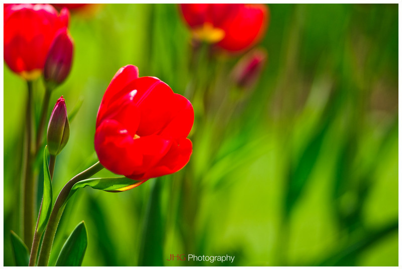 Morges Fête de la Tulipe Fete Party Festival Tulip Flower fleur Switzerland Suisse Schweiz Svizzera Tutorial how to take flower shot HD High Resolution Wallpaper free download JHGphoto