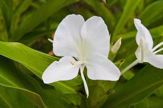 Welcome to maui store online aloha maui photo gallery white maui photo gallery maui flowers plants white ginger flowers mightylinksfo