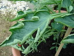 Tomato Leaf Curl Microfarm Organic Gardens Blog
