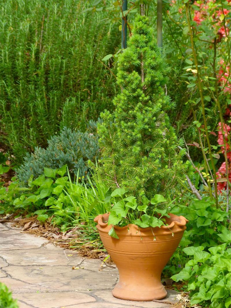 How Not To Kill A Dwarf Alberta Spruce Debs Garden