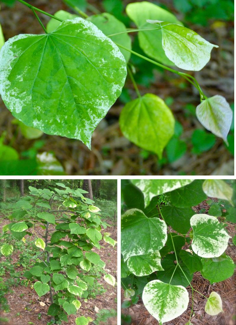 Whitewater Weeping Redbud Tree Deb S Garden Deb S Garden Blog