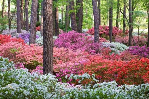 How To Plant And Care For Azaleas Debs Garden Debs Garden Blog