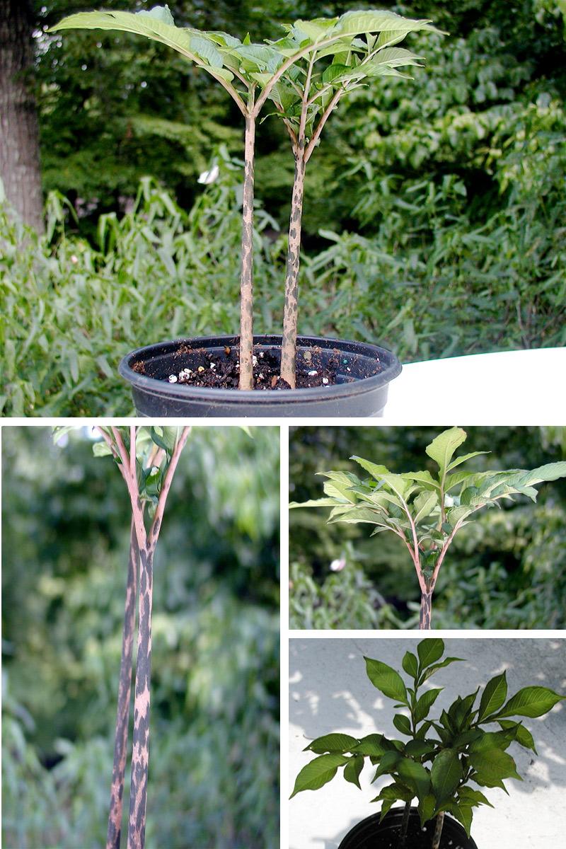 Garden Bush: Under The Spell Of The Voodoo Plant